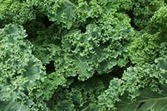 Big leafy kale